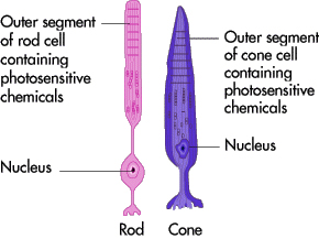 rods and cones1