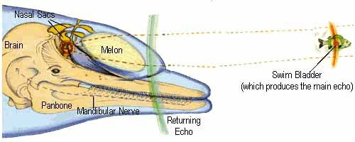 Dolphin Melon: Toothed Whale Uses Bisonar System